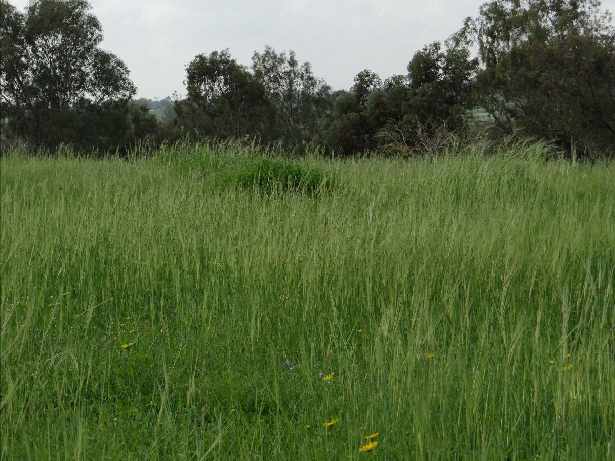 How To Determine Aviv Barley